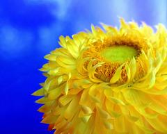 fiore di paglia