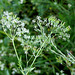 Anthriscus sylvestris (4)