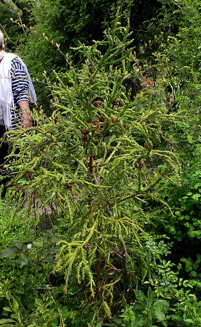 Cryptomeria japonica 'Spiralis ' 'Rasen Sugi'