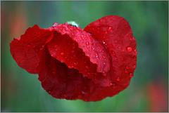 Mohnblume im Regen...