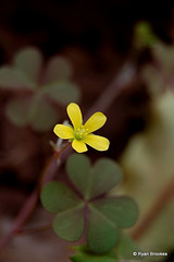 20070110-0171 Oxalis corniculata L.