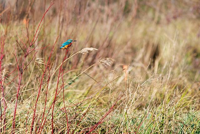 Kingfisher......