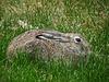White-tailed Jack Rabbit