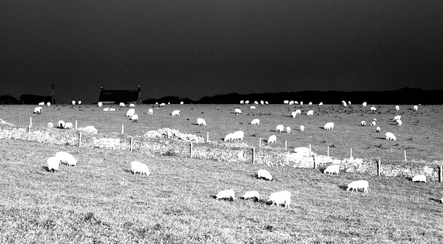 Sheep at Sundown