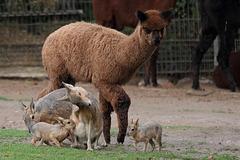 Gruppenbild mit Alpaka (Wilhelma)