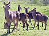 Deer herd near Barrowford, UK.