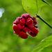 Heart's-a-burstin' seeds