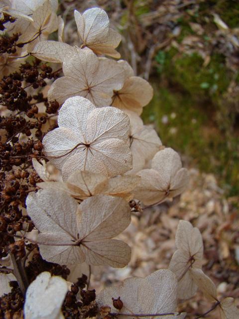 Dried oakleaf hydrangea flower