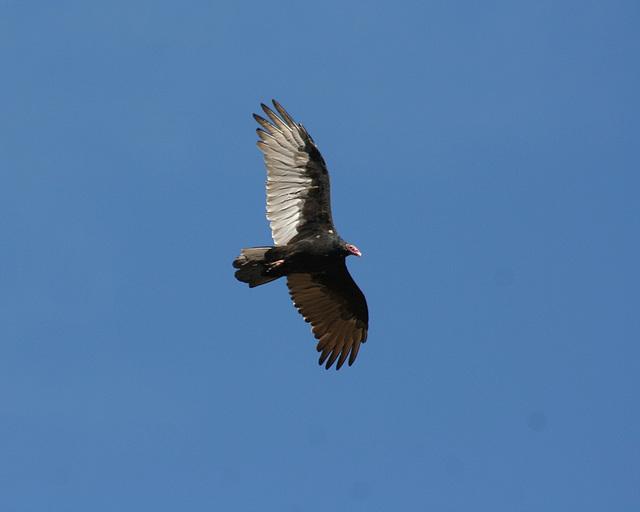 urubu à tête rouge/turkey vulture