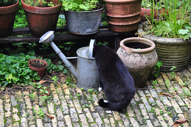 Cats like dirty water