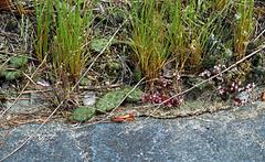 Opuntia humilis in habitat #2