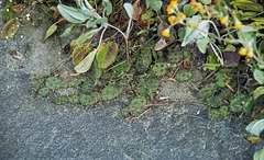 Opuntia humilis in habitat #1