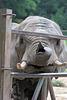 Afrikanische Elefantin Zimba (Opel-Zoo)