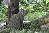 Wildkatze (Opelzoo)