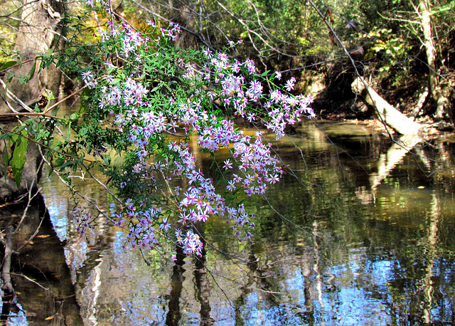 Aster on Bank of Fisher Creek