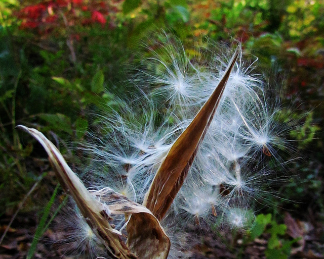 Butterfly Weed Seed Pod