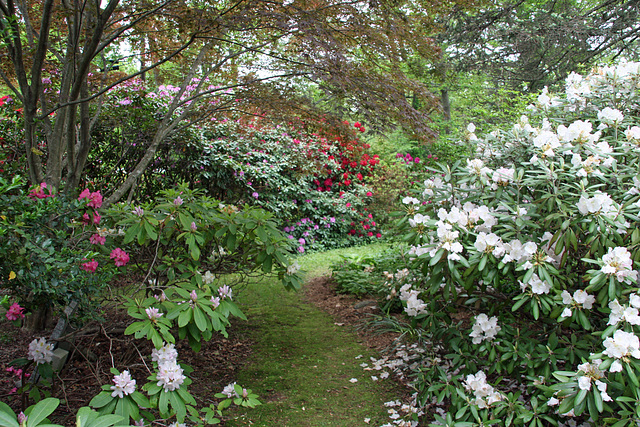 Rhododendron Heaven