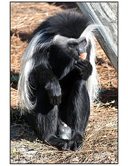 Colobus With Fruit