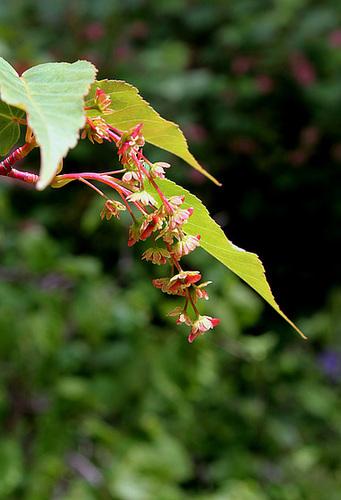 Acer davidii 'Serpentine ' groupe des jaspés