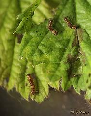 Patio Life: Vapourer Caterpillars