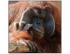 Orangutan Wistful Thinking