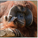 Orangutan Wistful Thinking