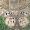 Erdmännchen (Opel-Zoo)