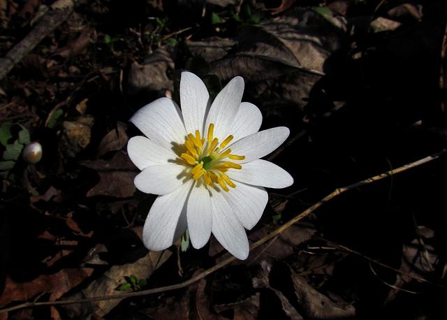 Bloodroot Flower