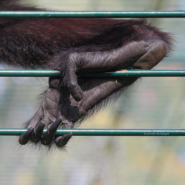 Fuß eines Braunkopfklammeraffen (Zoo Landau)