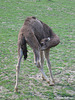 junges Dromedar (Opel-Zoo)