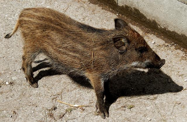 Schwein gehabt... ©UdoSm