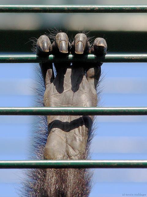 Hand eines Braunkopfklammeraffen (Zoo Landau)