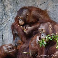 Orangutan Family - No rest for a weary dad!