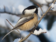 You can always count on a Chickadee