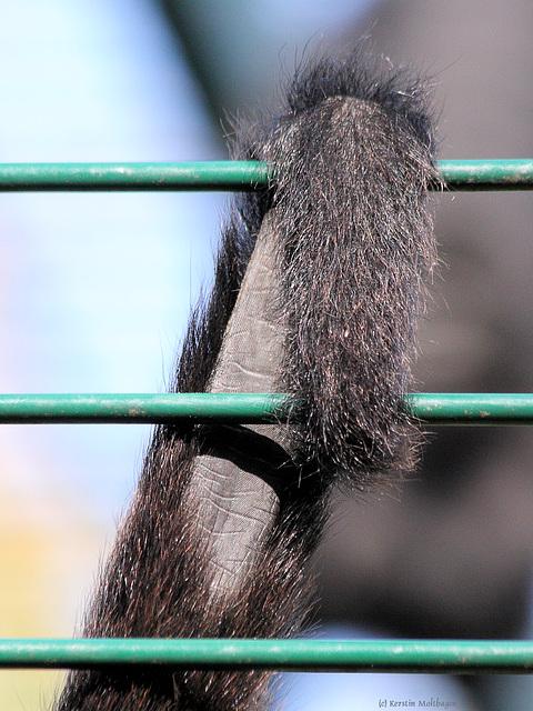 Greifschwanz eines Braunkopfklammeraffen (Zoo Landau)
