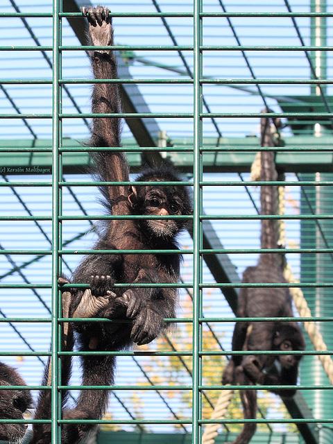 Braunkopfklammeraffen (Zoo Landau)