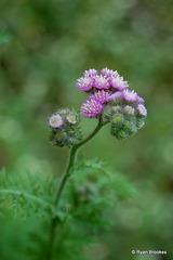 20061125-0053 Cyathocline purpurea (Buch.-Ham. ex D.Don) Kuntze