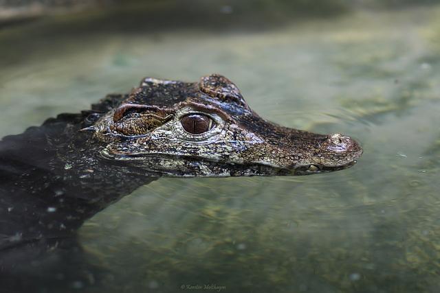 Glattstirnkaiman (Zoo Landau)