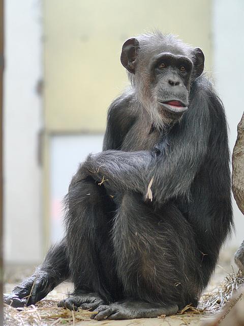 Schimpansin (Zoo Landau)