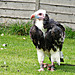 White Headed African Vulture