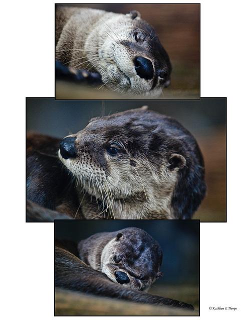 Otter triptych