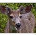 Mule Deer in Whistler