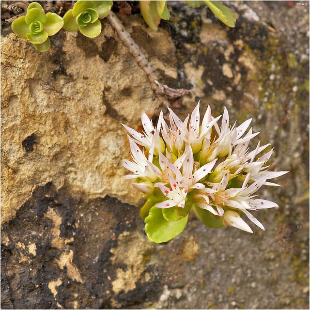 Mauerblümchen - Wallflower (2)