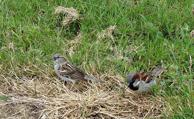 Mum and dad sparrow