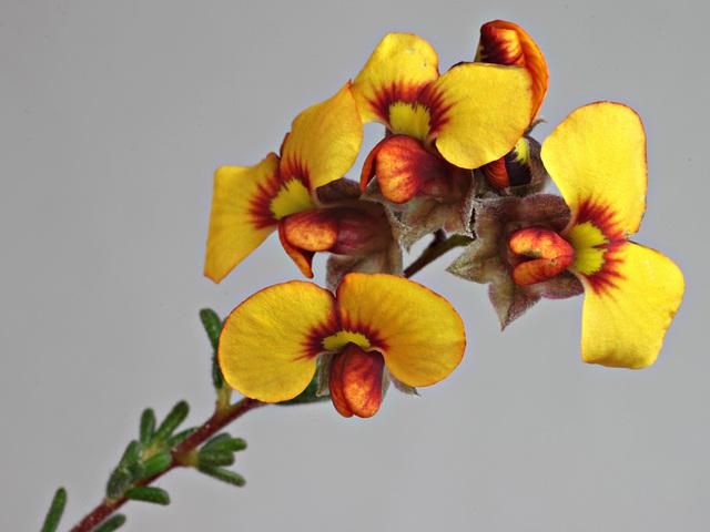 Dillwynia hispida, yellow-flowered sand heath form