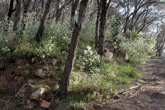 Anthocercis angustifolia, Morialta CP