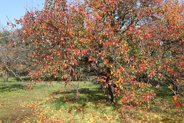 Pyrus pashia (Wild Himalayan Pear)