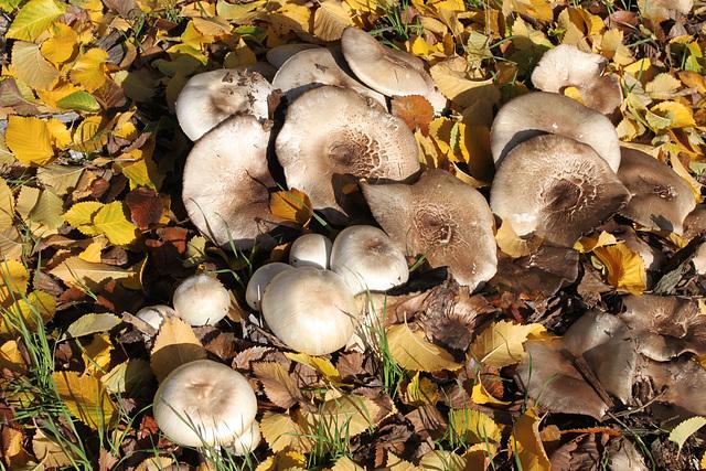 Agaricus xanthodermus (Yellow-staining Mushroom)