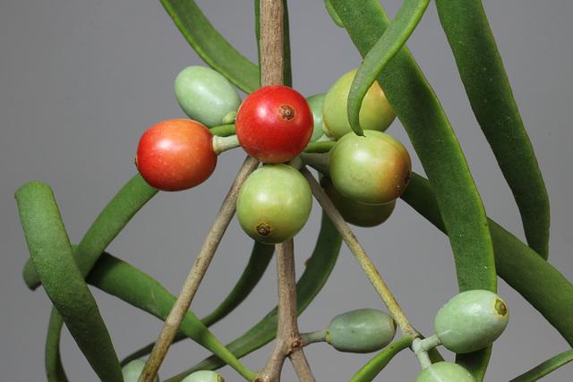 Lysiana exocarpi ssp. exocarpi (Harlequin Mistletoe, yellow form) PJL2816