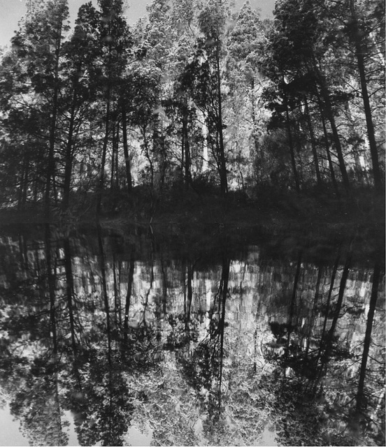 Native Pine reflected